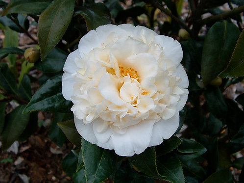 Camellia japonica 'Brushfield Yellow'