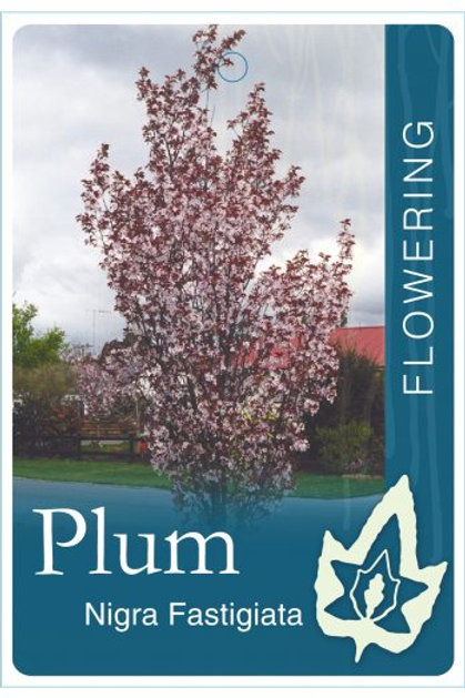 Prunus cerasifera nigra fastigiata - Narrow Purple leaf Plum