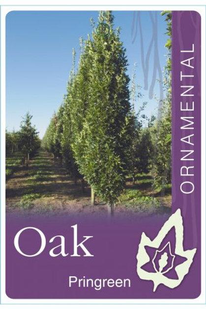 Quercus palustris - Pringreen
