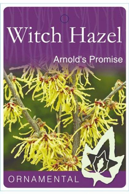 Hamamelis x intermedia - 'Arnold's  Promise' Witch Hazel