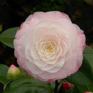 Camellia japonica - Commander Mulroy