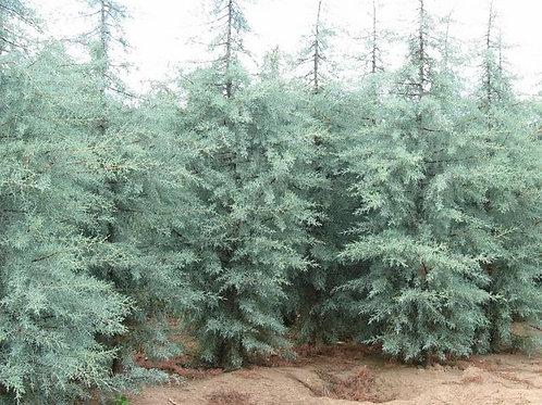 Cupressocyparis glabra - Arizona Cypress 'Blue Ice'