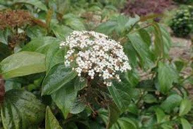 Viburnum japonicum - Japanese Viburnum