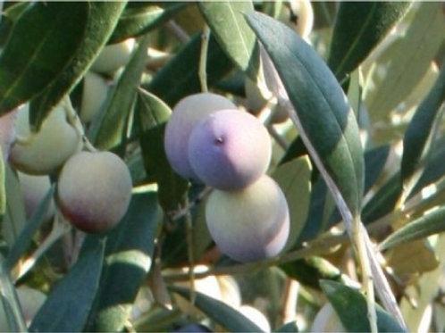 Olea europaea - Frantoio Olive