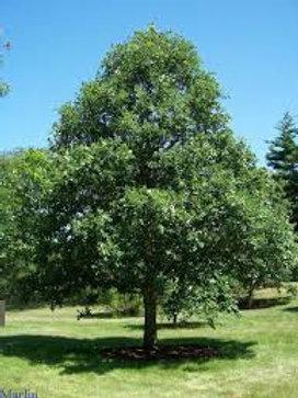 Quercus bicolor - White Swamp Oak