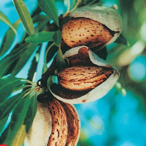 Prunus dulcis -'Zaione All in One' Almond