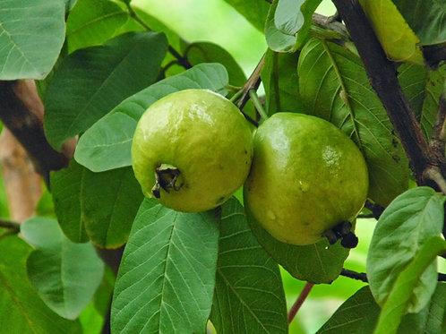 Psidium guajava - Indian Guava