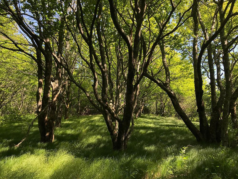 Spence Field, Lichtung direkt am Apalachian Trail.
