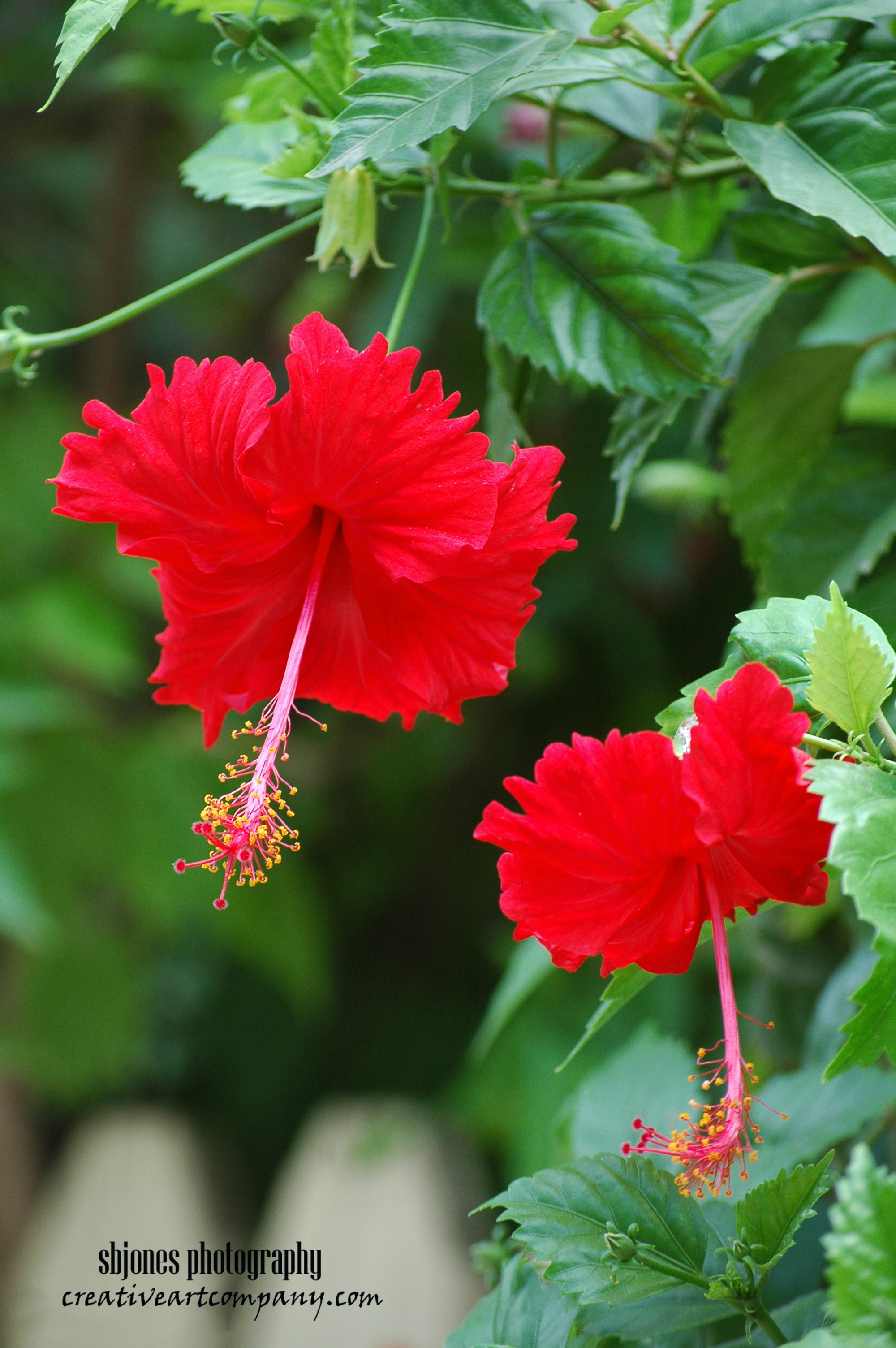Honduran Red Hibiscus (1)
