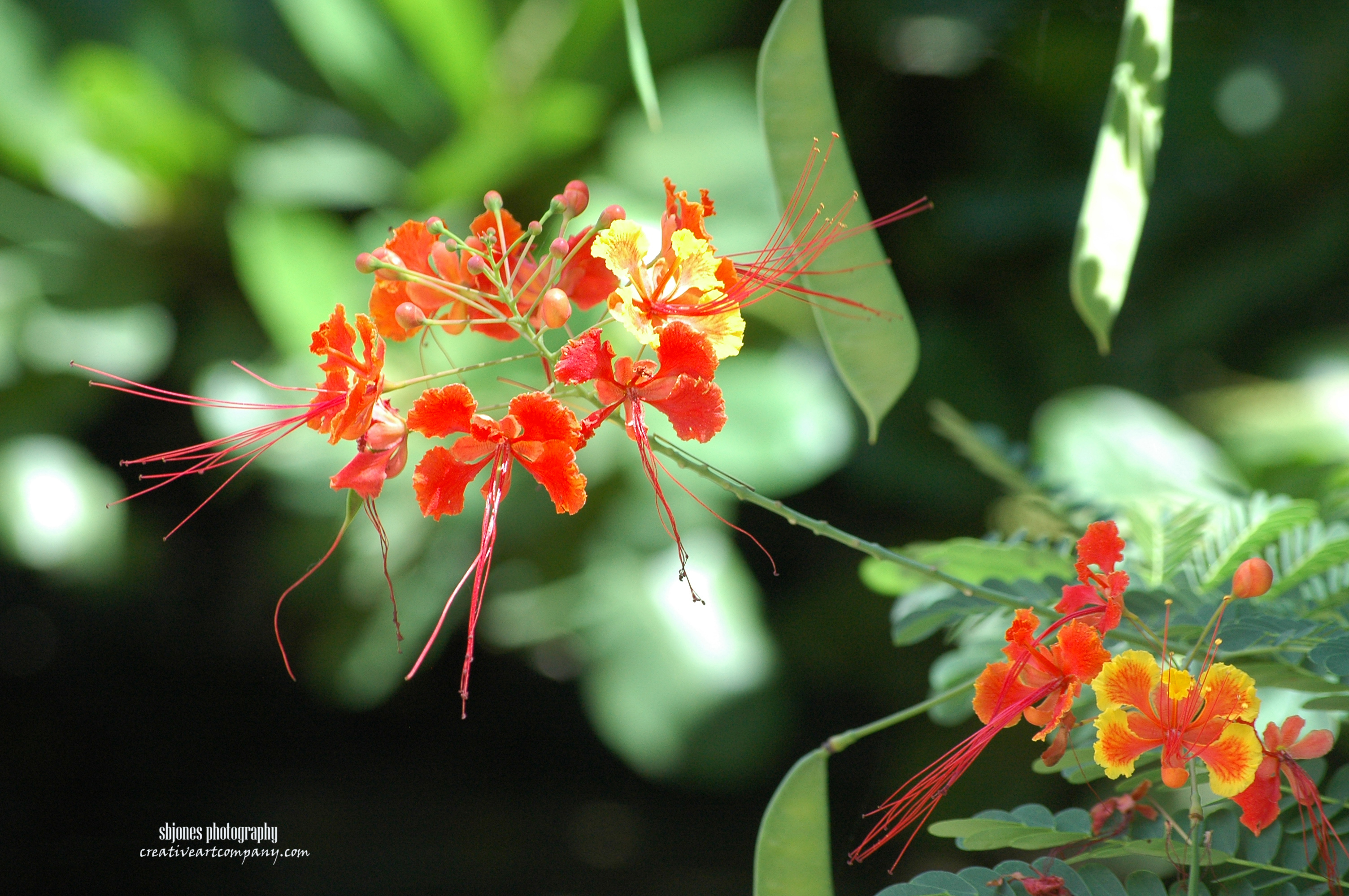 Red Bird Of Paradise (2)