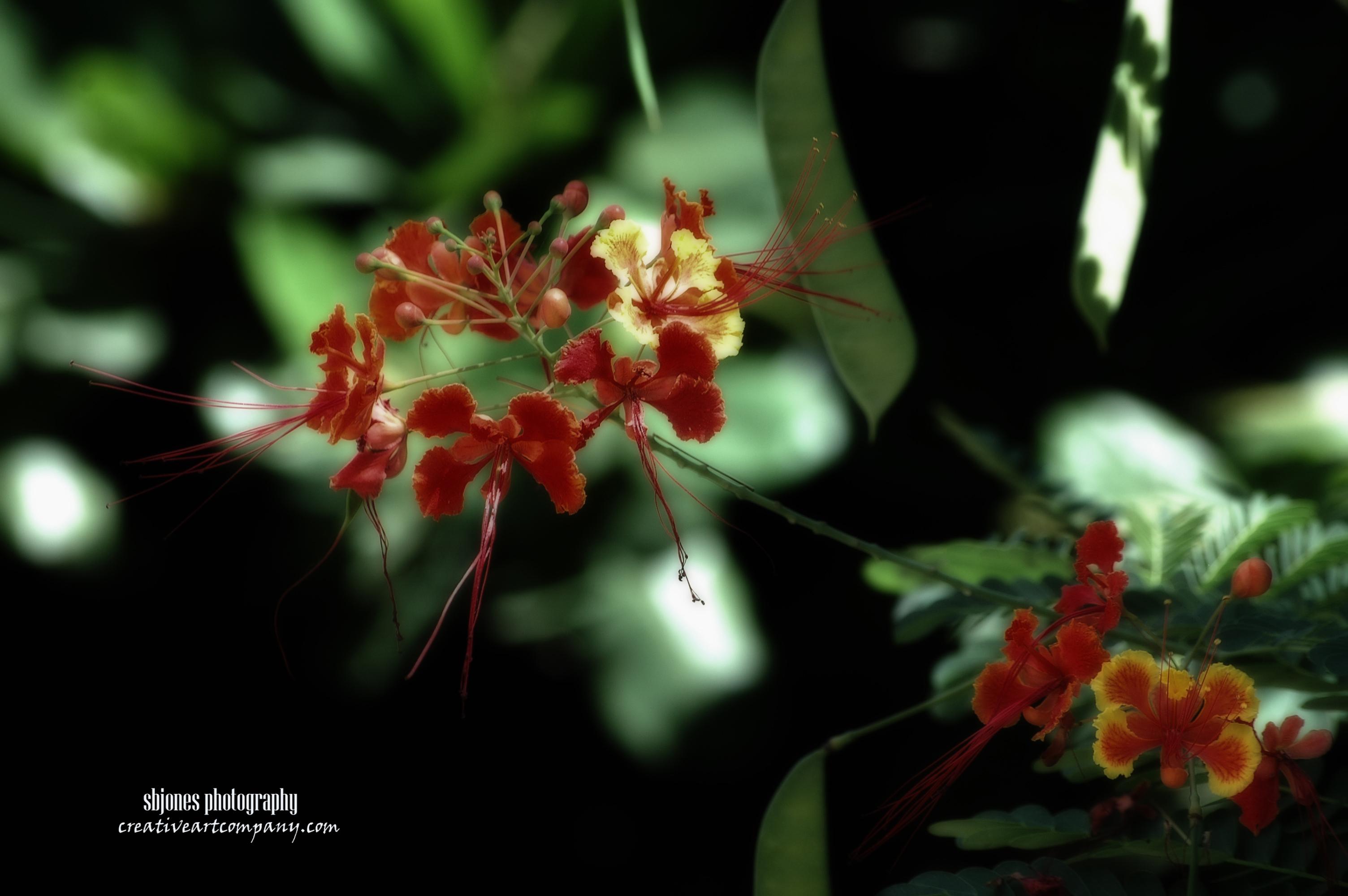 Midnite Red Flower