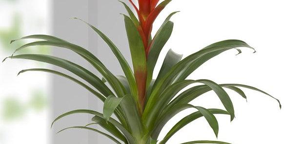 Çizgili Vazoda Guzmania bitkisi