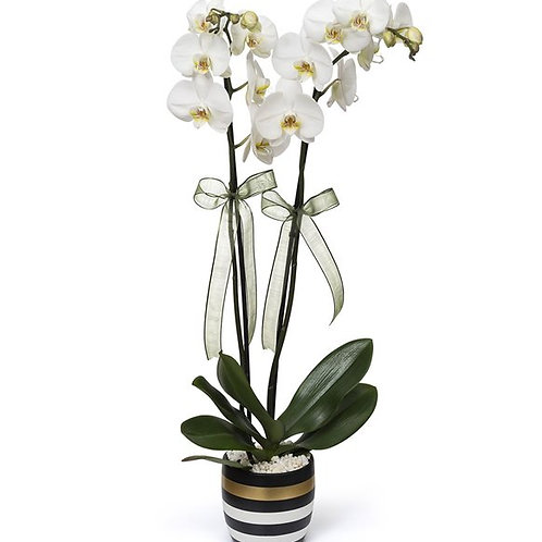 Çizgili Vazoda Çift Dal Beyaz Orkide