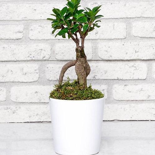 Seramik Saksıda Ficus Bonsai