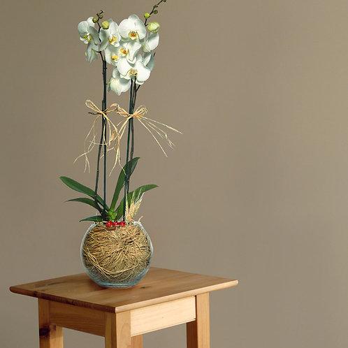Cam Fanusta Çift Dal Beyaz Orkide