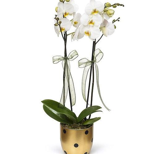 Puantiyeli Vazoda Çift Dal Beyaz Orkide