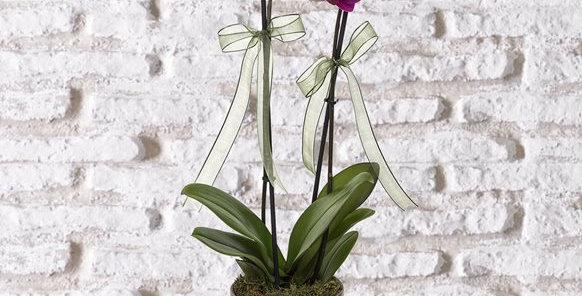 Gold Vazoda Çift Dal Mor Orkide