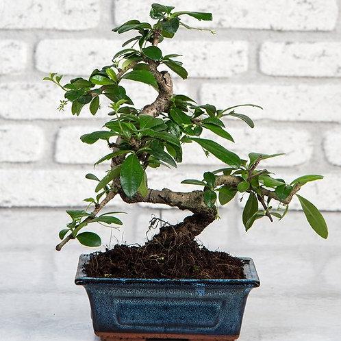 Zelkova Bonsai 25 cm