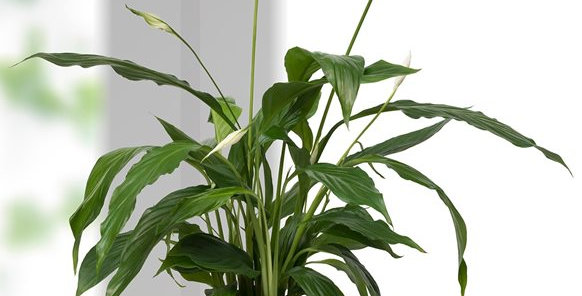 Çizgili Vazoda Spatifilyum Bitkisi
