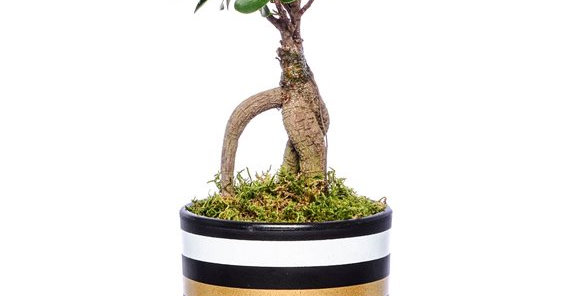 Çizgili Vazoda Ficus Bonsai Bitkisi