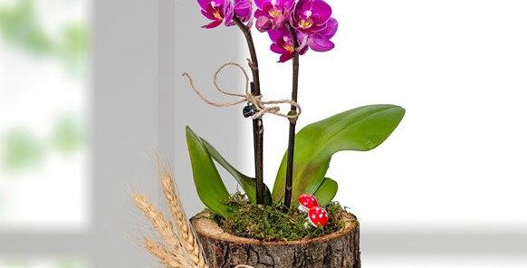 Kütükte Mini Mor Orkide