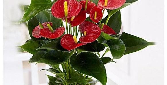 Antoryum Çiçeği Seramik Vazoda