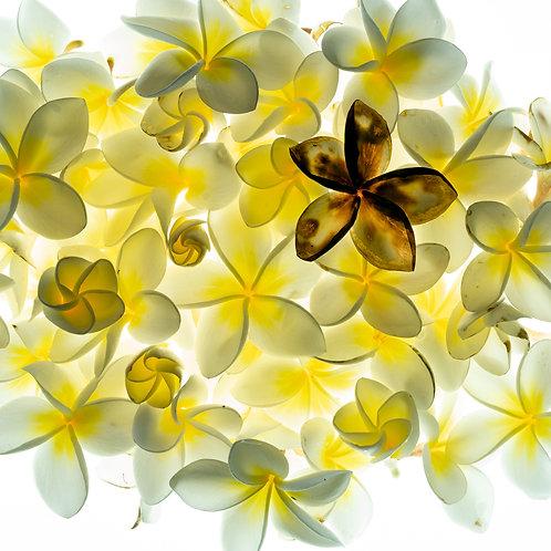 Flora - Franjipani Collage