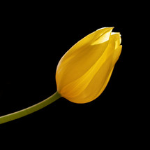 Tulip light