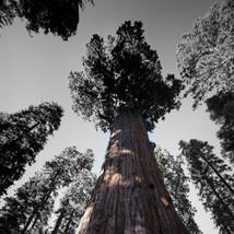 Giant Sequia