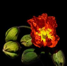 Poppy on Fire