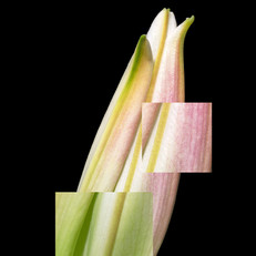 Lily Disected