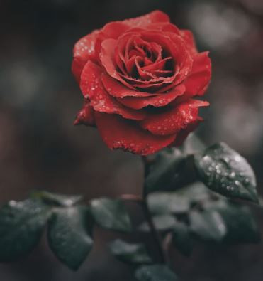 Happy Red Rose Day!
