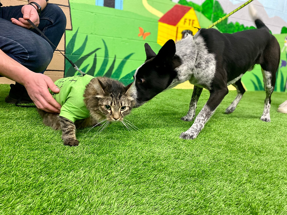 The perfect dog for you is on the Fetching Tails Foundation website, but you already have a cat (or two) at home. How do you know if they'll get along and not tussle like, well, cats and dogs? Enter Leo, FTF's famous feline dog evaluator!