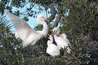 Egrets. Baby egrets, Egrets nesting, Wading birds,