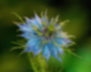 Corn Flower, Nature, otography, Flower photography, Flowers