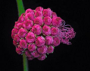Pink Powder Puff, Macro photography,Pink flowers, Flower photography, All things pink, Pink, Nature