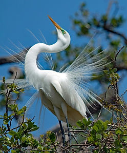 Egrets, Bird courtship, Wading birds, Wading birds nesting, wading birds displaying Great egret