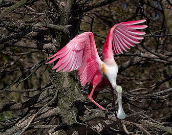 Roseate Spoonbill, Birds, Wading Birds, Nature Photos