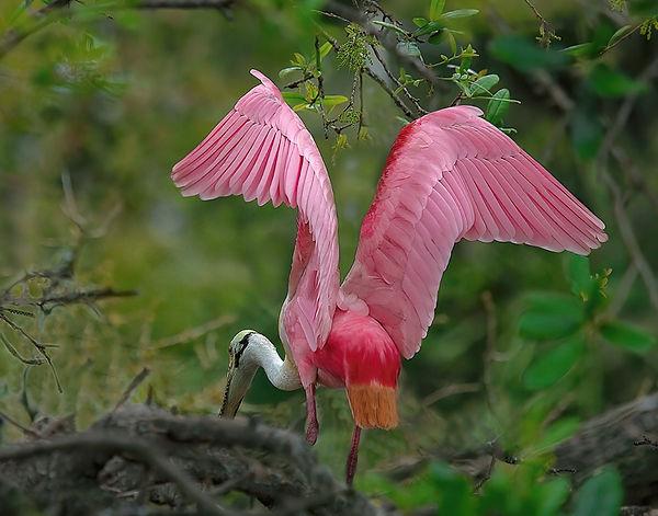 Roseate spoonbill, Wading birds, Birds, Birds nest building, Nature