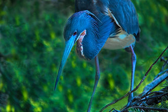 blue heron, heron, birds, bird photography, nature photography