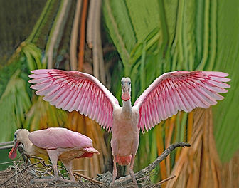 Roseate spoonbill, Wading birds, Bird photography, St. Augustine Allegator farm, Nature photography