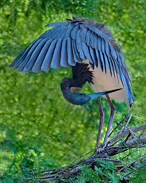 Blue heron, Nature images, Wading birds, Bird photography, St Augustine Allegator Farm, Native Florida Birds, Florida Bird photography