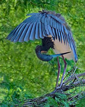Blue heron, Nature images, Wading birds, Bird photography, St Augustine Allegator Farm, Native Florida Birds, Florida Bird photography