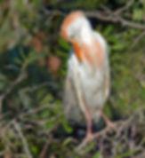 Cattle egret, egret, egret nesting, wading birds, nature, florida egrets