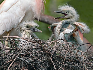 Cattle egret chicks, cattle egret. egrets, nature, wading birds
