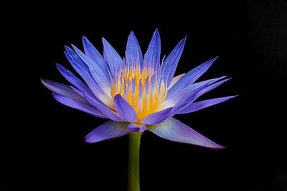 Lotus, flowers, Flower photography, nature,