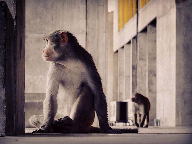 #lecorbusier #chandigarh #monkeys