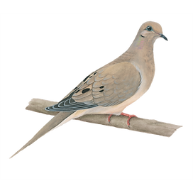 mourning-dove-1024x1024.png