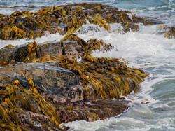 Noel Dawson Bull Kelp