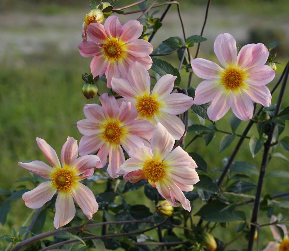Keith Hammett Sunflower Dahlia